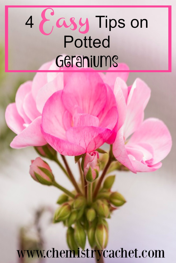 4 Easy tips on potted geraniums. Easy tips for anyone to use!