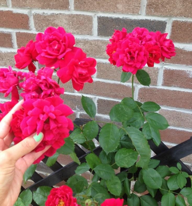 Climbing Roses in the Chemistry Cachet garden chemistrycachet.com