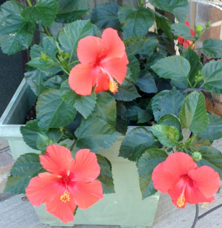 5 easy tips on potted hibiscus | Chemistry Cachet