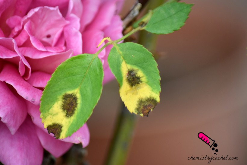 black spots on roses