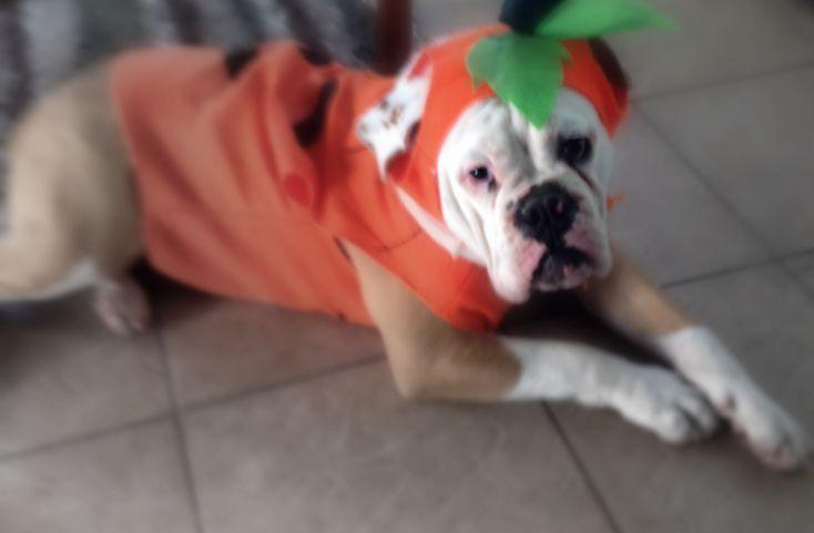 Ruger the Bulldog Pumpkin Costume