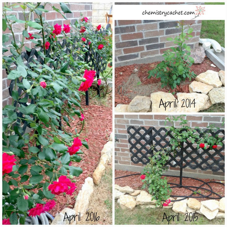 Chemistry Cachet's Roses using this guide to grow the biggest, healthiest roses all season long on chemistrycachet.com