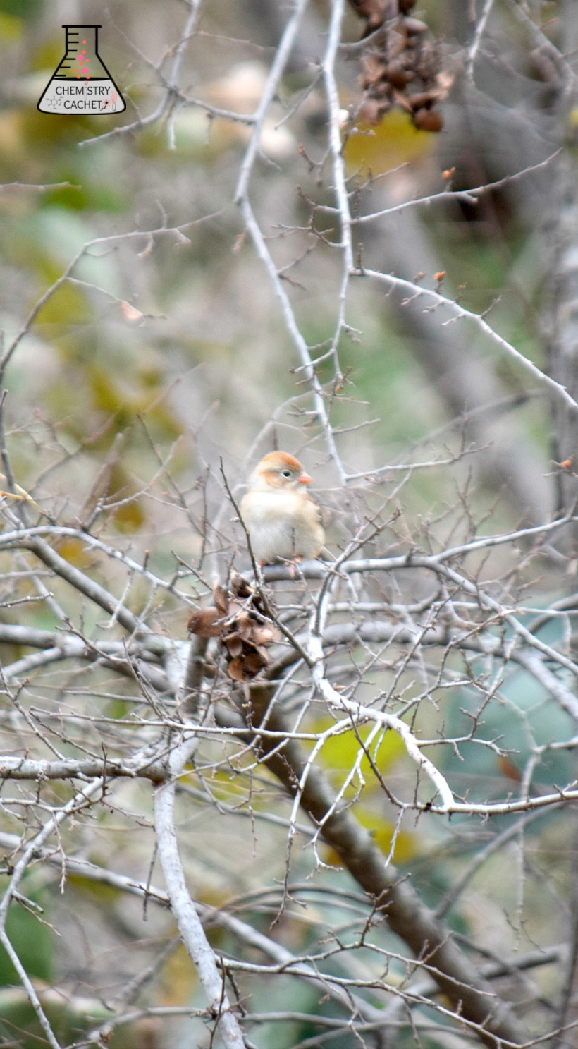 Field Sparrow on a Winters Day in Texas