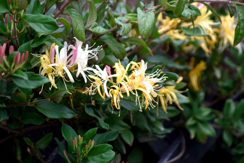All about April Flowers. Honeysuckle!