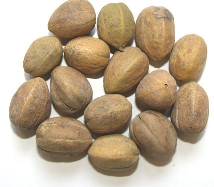 croton-tiglium-ba-dou-%e5%b7%b4%e8%b1%86