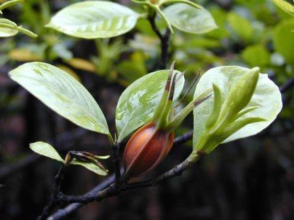 fructus-gardeniae-zhi-zi-%e6%a0%80%e5%ad%90