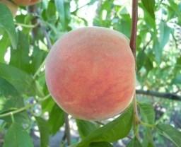 Персик сорту Лісостеповий
