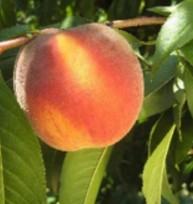 Персик сорту ПФ лакі 13 Флемінг Ф'юрі PF Lucky 13 Yellow Peach