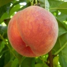 Персик сорту спрінг крест