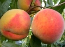 Персик сорт Дніпровський