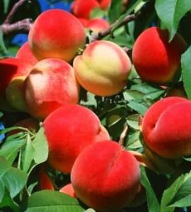 черенки персика і нектарина