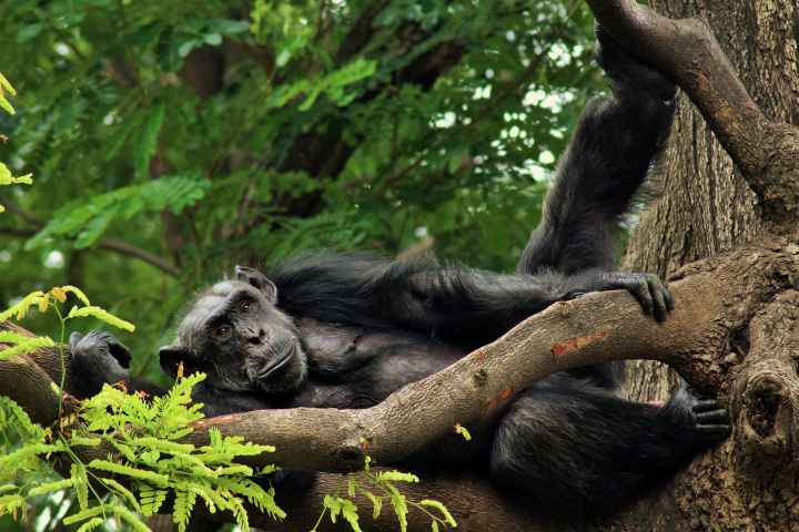 A bonobo, also known as the pygmy chimpanzee. They're also closely related to humans, but tend to exhibit more pro-social and sexual behavior than chimps.