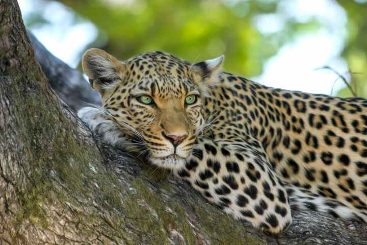 A leopard lays in a tree, watching intently.