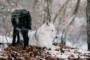 A black and silver wolf stands next to a white wolf lying down on a bed of snow-covered leaves. They are surrounded by trees.