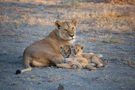 A lioness with two cubs lays on the ground with her back to the camera, but turns to look at the lens.