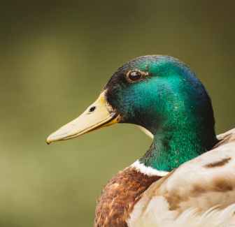 A mallard drake, like the one pictured in this close-up, can be quite violent when it comes to mating.