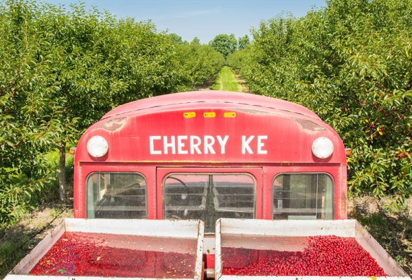 Cherries in tanks after being harvested