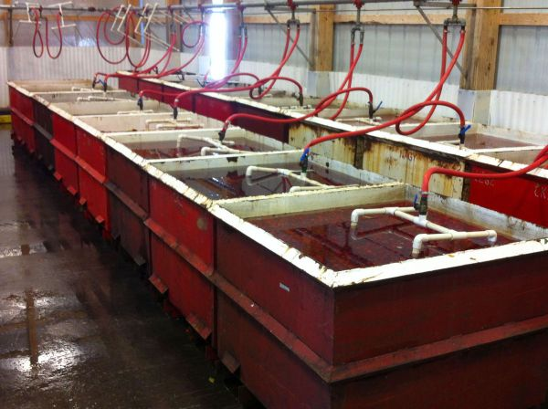 Cherries in tanks at the cooling pad.