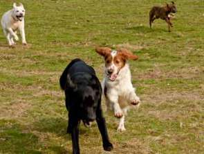 dogs playing image