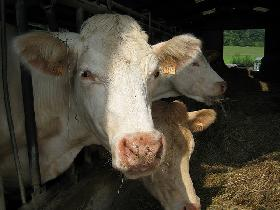 Close-up of the head of a large, white cow in a barn; two others in profile behind it.