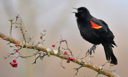 Red-winged Blackbird | Chesapeake Bay Program
