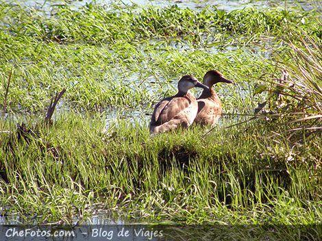 Patos en los Esteros del Iberá