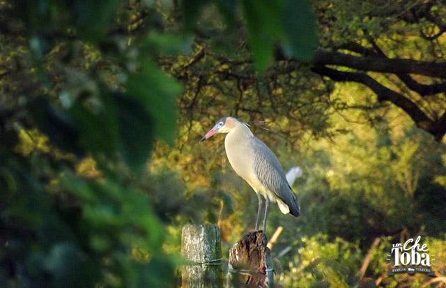 Chiflón - Whistling Heron