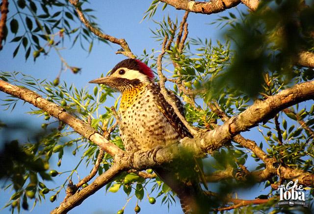 Pájaro Carpintero Real