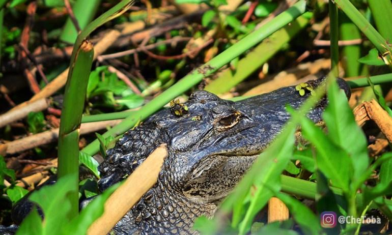 aligator-de-la-florida