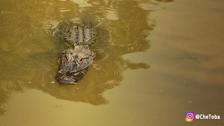 cocodrilos-en-orlando