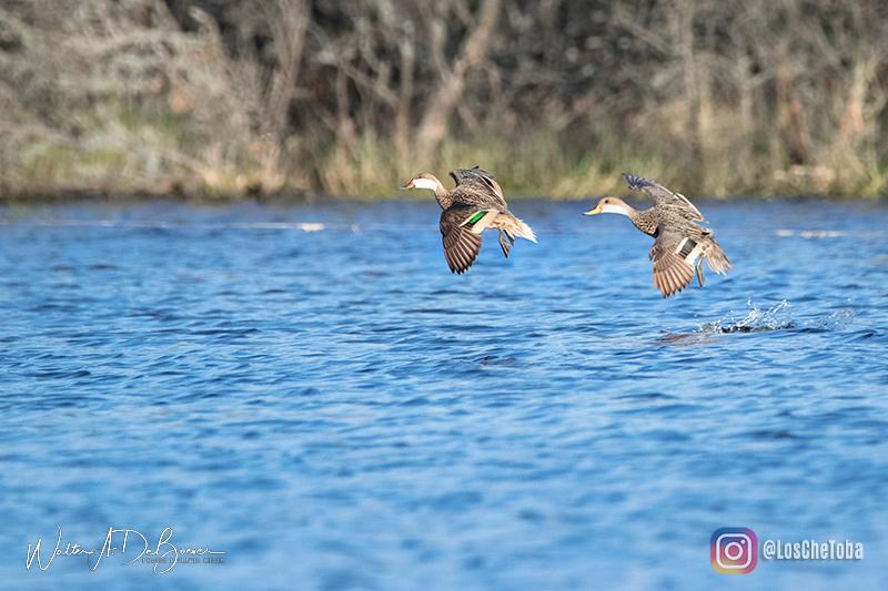 aves acuáticas de Villa María, Córdoba