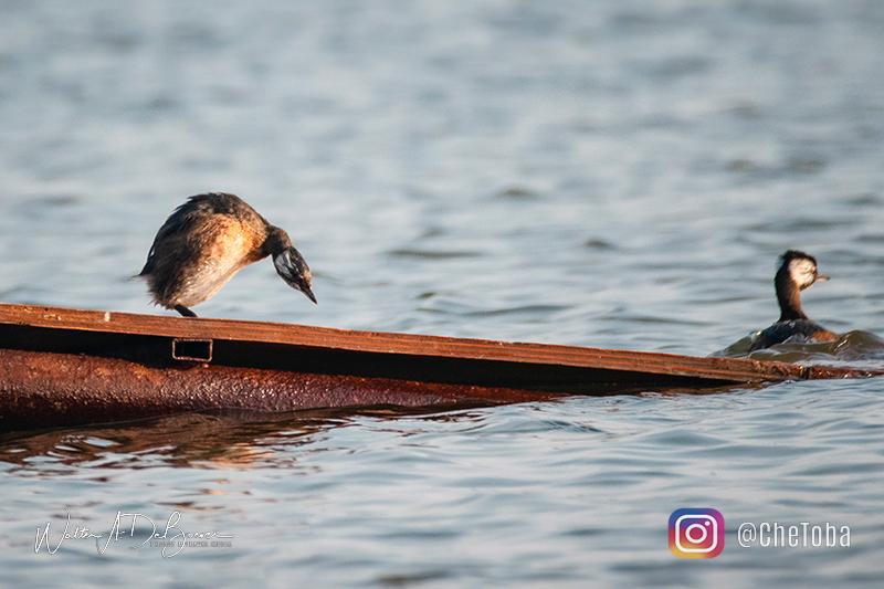 Macá común - avistaje aves mar chiquita