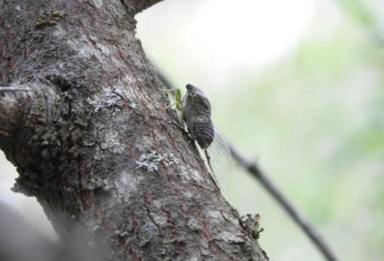 Foto de una chicharra en un árbol