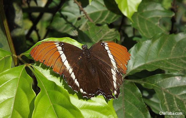 Mariposa marrón Colombia