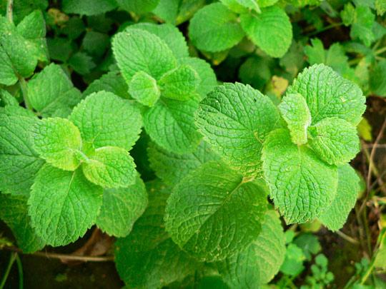 menta erbe aromatiche