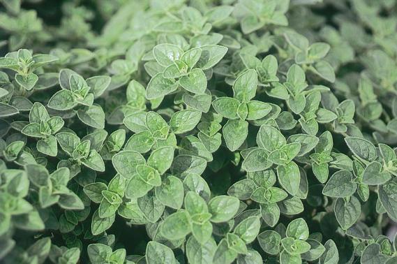 origano erbe aromatiche