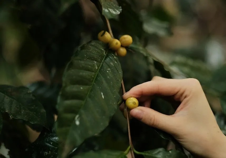 Hand picking coffee bean