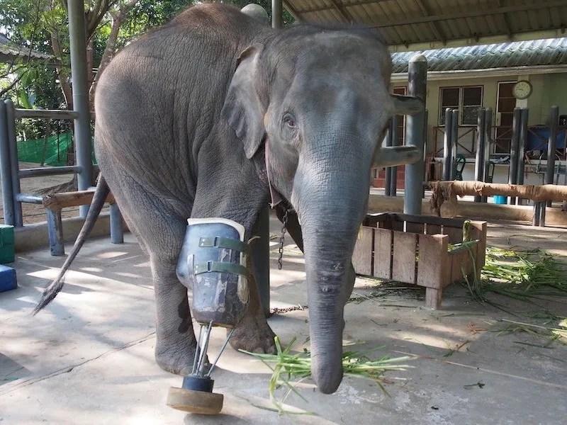 Elephant with prosthetic leg