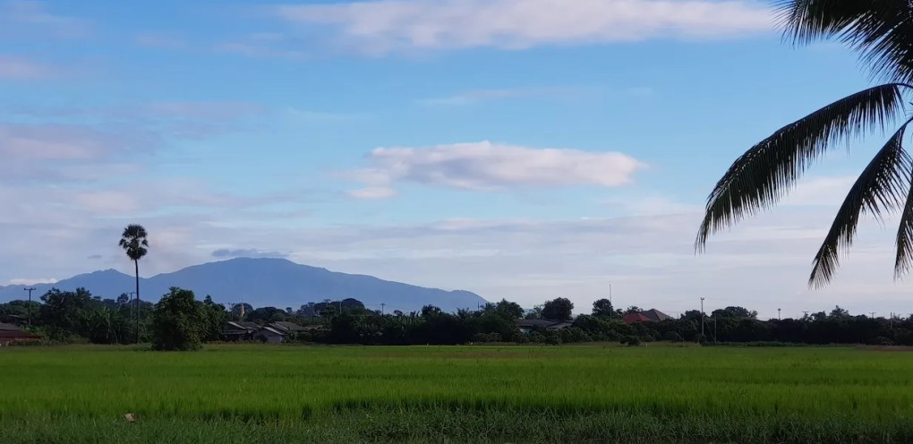 Rice fields with mountains in the background