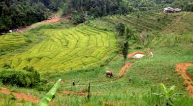 Elephant in rice fields