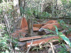 illegal logging of phayung (Siamese rosewood)