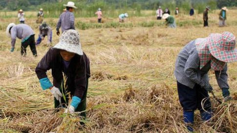 Thai farmers cultivate rice near Chiang Saen. Thailand is the largest rice exporter in the world