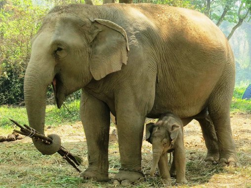 Born just a few weeks ago on March 3, Nong Sam is the fifth son of indigenous elephant Boon Jan