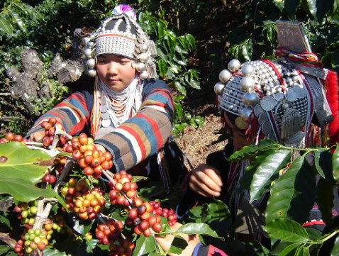 Doi Chaang Coffee is naturally cultivated and processed in the remote Doi Chang Village of Northern Thailand