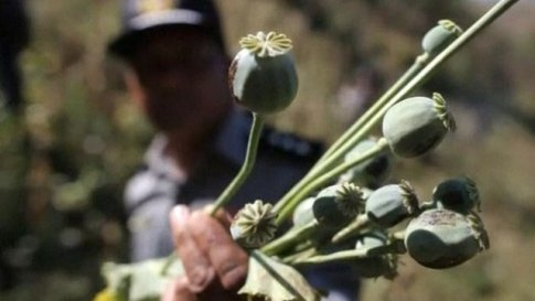 Poppy fields in Myanmar destroyed to try and curb opium production