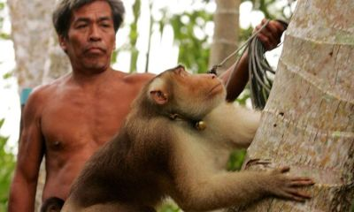 Thailand, Monkeys, PETA