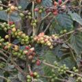La roya mata lentamente a las plantas de café; en Chiapas los productores enfrentan crisis. Foto: Cortesía