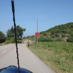 Une vache sur la route