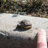 Un bébé tortue