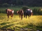 Des chevaux au retour